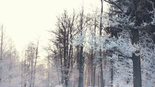 Winter background. Snow covered trees in winter forest. Panorama of tree branches covered with white snow. Snow background. Winter woods. Winter wonderland. Trees covered by snow in winter forest