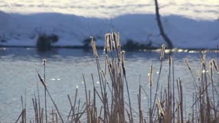 Winter lake. Dry reeds sways in winter. Winter landscape. Winter riverbank. Dry plants near river in sunny day. Dry reeds in sunlight in wintertime, winter reeds. Snowy river bank. Reeds in sunlight