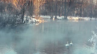 Winter landscape. Fog over the river. Misty river in winter forest. Swimming birds, white swans. River in winter forest. Winter river. Lake covered in fog during morning sunrise. Fog over cold river