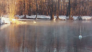Winter landscape. Mist over forest lake, white swans and winter forest. Birds couple swims in winter lake. Misty morning in winter forest. Lake in winter forest. Snow covered riverbank in sunlight
