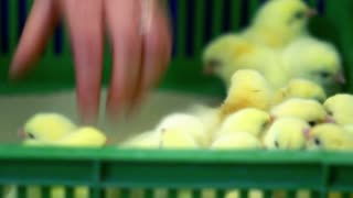 Farmer get small chickens from plastic box and vaccinates them. Worker hand get baby chickens from box. Tiny chicks at chickens farm. Worker at poultry farm production line. Agriculture industry