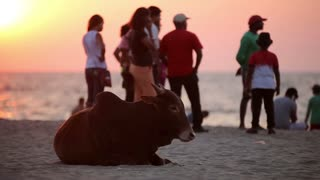 Cow resting on the beach
