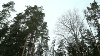 Pine Forest on a windy day