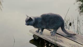 A cat drinks water from pond
