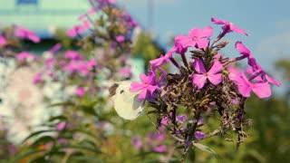 Butterflies flying over pink garden flowers
