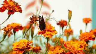 Butterflies flying over red garden flowers