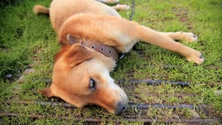 Friendly chained watch dog laying