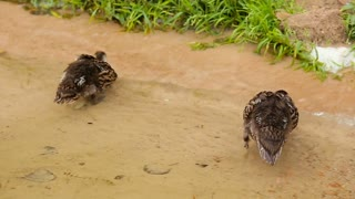 Newborn ducklings on water by the lake shore