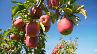 Orchard full of trees with ripe red apples