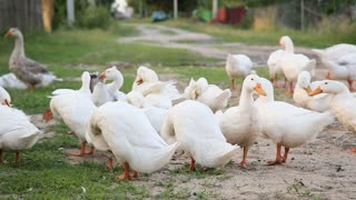 White farm ducks by the countryside road