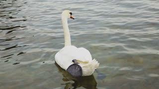 White swan swimming in the lake