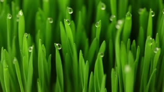 Juicy fresh green grass. Close-up. Drops of dew on the blades of grass. The camera is slow. Without added effects