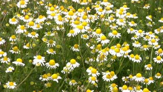 Lots and lots of daisies (camomile) tremble in the breeze among the green the grass on a bright sunny day