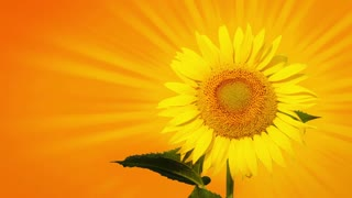 Orange background. One sunflower emits the sunbeams. Close-up. The sunbeams are moving