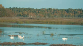 A flock of swans on the pond