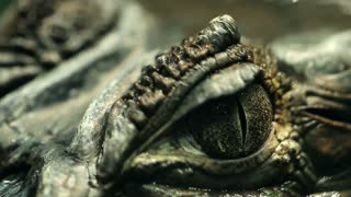 Alligator Eye Closeup