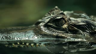 Alligator is a large crocodile in the water