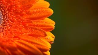 Beautiful sunny flower orange gerbera