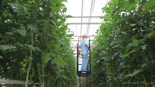 Belgorod, RUSSIA - September 15, 2016 A large greenhouse complex. She takes care of the tomato crop in the greenhouse. The movement on the hoist