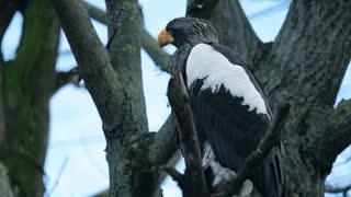 Big Bird an eagle sitting