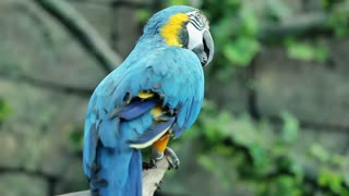 Blue and yellow macaw resting