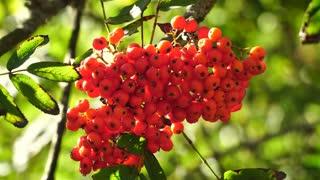 Bunch of rowan berries close-up
