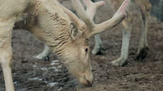 close-up of reindeer with big beautiful horns