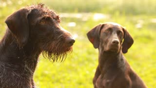 Couple Pointing dogs for hunting waterfowl