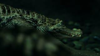 crocodile under water large reptile