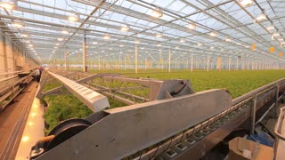 Cultivation of green hydroponically