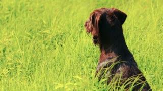 Dog drathaar. Close-up. Hunting dog