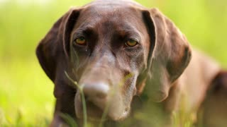 dog head close-up. Hunting dog brown color, with wet hair