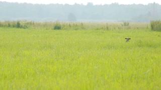 Dog hunting in search of prey. Kurzhaar Drathaar in the marsh hunts