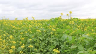 Field mustard plant with yellow flowers, useful plant
