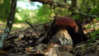 Forest boletus mushroom or white mushroom. In the forest delicacy