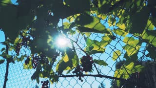 Grapes in sunlight. Green leaves and bright clusters of grapes