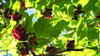 Grapes on a sunny day, clusters of bright colors, through the sun's rays