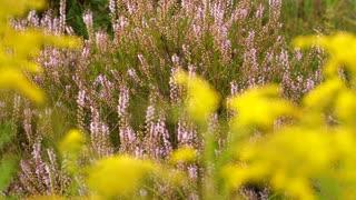 Heather beautiful wild plant with purple flowers