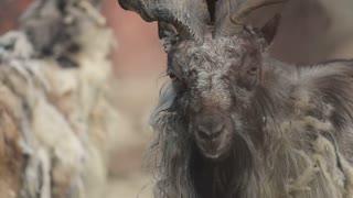 Horned mountain goat