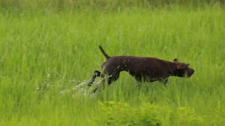 Hunting dog in search of birds, hunting in the swamp