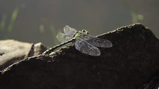 Large dragonfly on a log near the river waiting for their prey