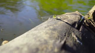 Large dragonfly sits on a log near the water