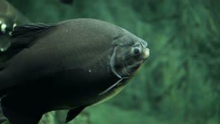 Large fish pacu underwater