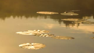 Leaves of water lily on the water. Dawn light. Foggy morning