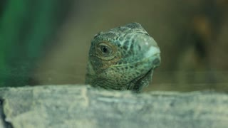 Lizard head close-up