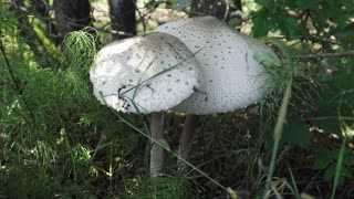 Mushroom umbrella. The taste of the fungus compared with chicken