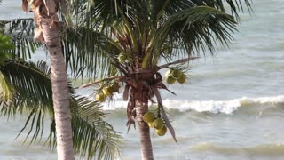 palm tree with coconuts on the beach