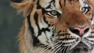 Pattaya, Thailand on November 24 Muzzle Tiger close-up