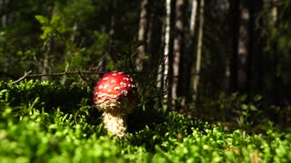 Poisonous mushroom fly agaric. With a bright red cap