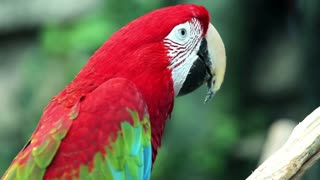 Red Macaw head close-up